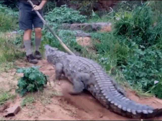 Clip: Chọc vào đuôi cá sấu, người đàn ông suýt bị ngoạm nát chân