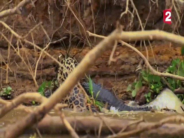 Video: Báo đốm lao xuống sông giết chết cá sấu Caiman, lôi xác vào rừng ăn thịt