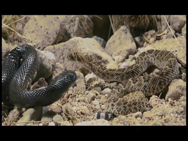 Video: Sở hữu nọc độc kinh người, rắn chuông bị rắn vua đen siết chết rồi nuốt gọn