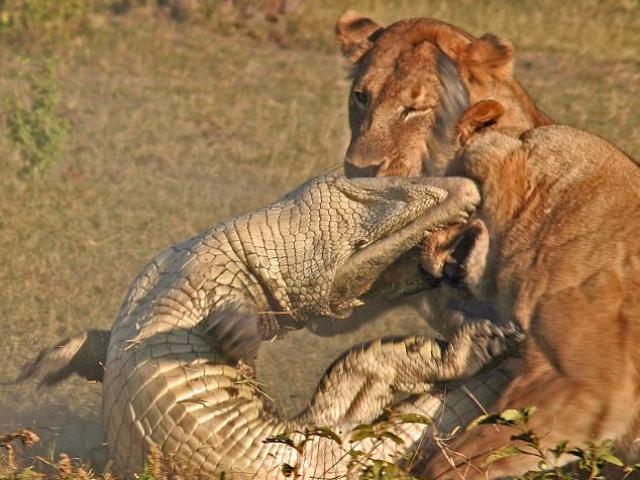 Bị 2 con sư tử vây hãm, cá sấu phản kháng quyết liệt giành giật sự sống