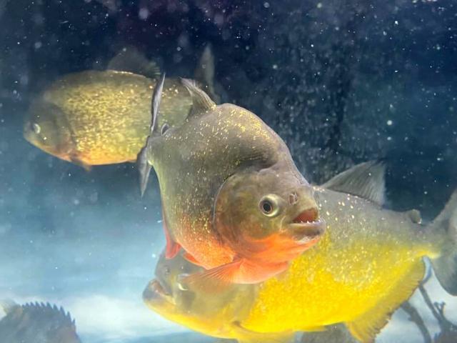 Nóng tuần qua: Loài cá cảnh có thể ăn thịt người đang được dân Việt mua bán tràn lan