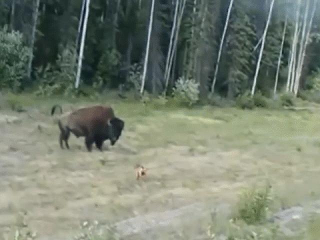 Clip: Hùng hổ lao vào bò rừng, chó pitbull nhận kết đắng