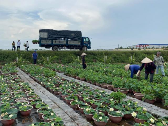 Loại cây quen thuộc đem trồng lên chậu, có vài nghìn chậu bán hết sạch