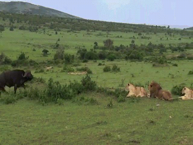 """Video: Trâu rừng """"to gan"""" tấn công 3 con sư tử cái, 1 con sư tử đực và cái kết bất ngờ"""