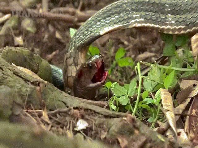 Video: Đụng độ kẻ thù, hổ mang chúa tung cú đớp ngang cổ khiến đối thủ chết thảm