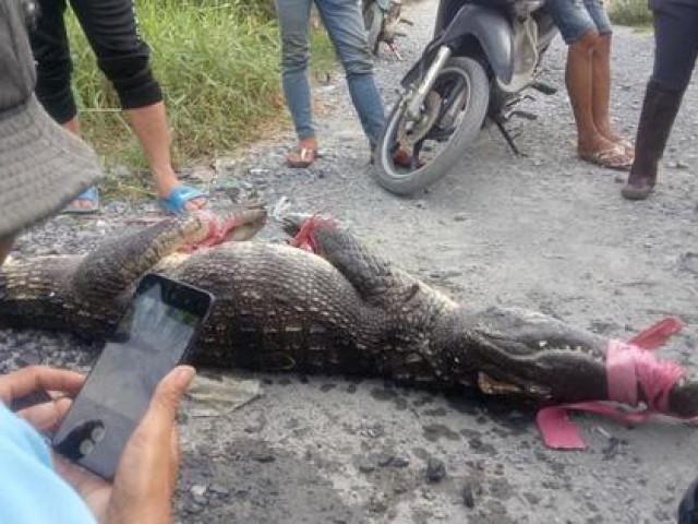 Ớn lạnh người dân bắt được nhiều cá sấu ở Bình Chánh