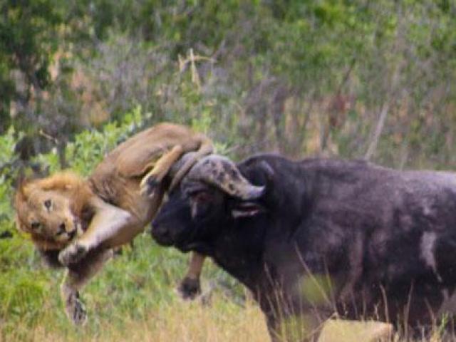Trâu rừng húc bay sư tử và màn tẩu thoát siêu ngoạn mục