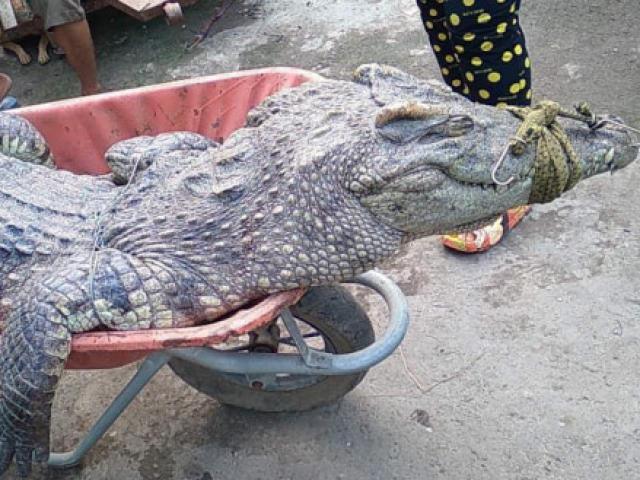 """Tin tức 24h qua:Liên tiếp chạm trán với cá sấu """"khủng"""" trên kênhở Bình Chánh"""