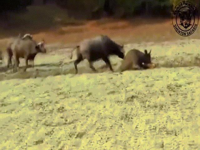 """Video: Trâu rừng lao tới tung cú húc """"trời giáng"""" khiến sư tử ngã sấp mặt để cứu đồng loại"""