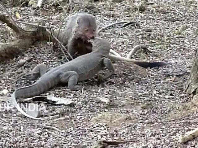 Cầy mangut tử chiến kỳ đà khổng lồ, con nào sẽ thắng?