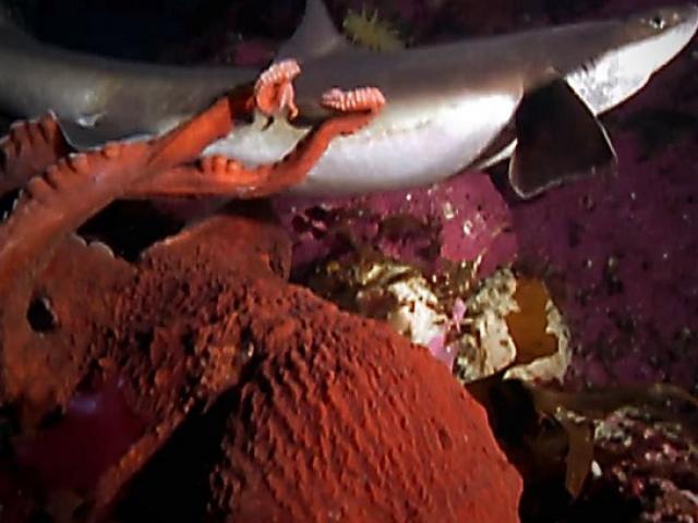 Bạch tuộc phục kích tấn công cá mập và cái kết cho kẻ yếu thế