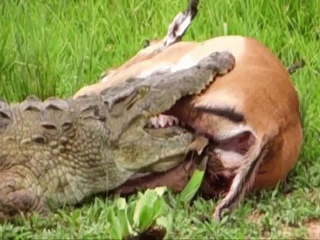 Video: Nằm gọn trong miệng cá sấu, linh dương impala vẫn thoát chết khó tin vì điều này