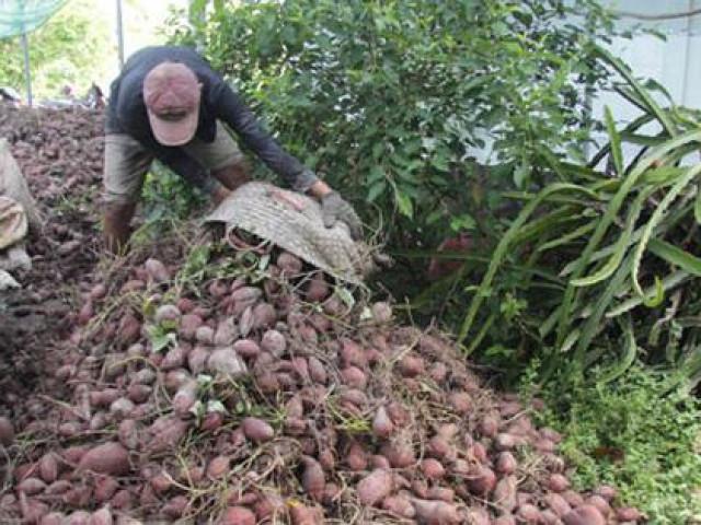 Điêu đứng vì khoai lang chưa tới 1.000 đồng/kg