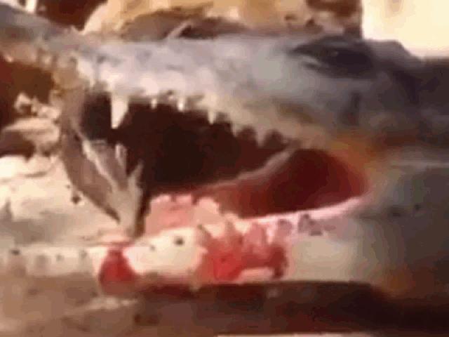 """Clip: Cá sấu khôn ranh dùng chiêu """"giả chết"""" lừa chim rừng và cái kết"""
