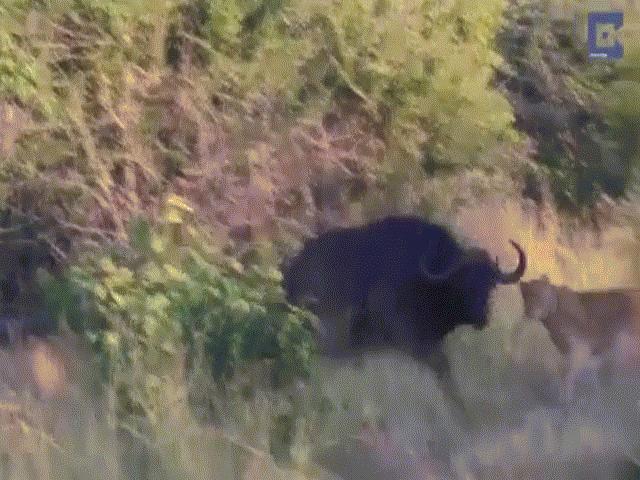 Video: Bị 7 con sư tử lao vào cắn xé suốt một giờ đồng hồ, trâu rừng bất ngờ chạy thoát nhờ điều này