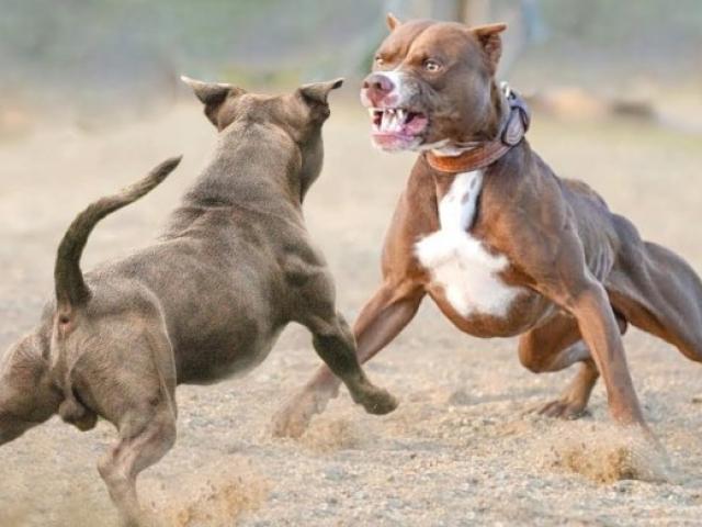 """Cuộc chiến đẫm máu giữa Pitbull với loài chó được huấn luyện """"hết sức bình tĩnh"""""""
