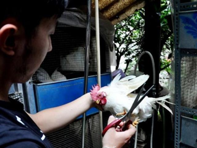 """Loài sở hữu """"ngực khủng"""", ở Việt Nam có người nuôi bán chục triệu đồng"""