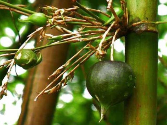 """Những loại cây """"lạ"""", cứ vài năm mới ra quả 1 lần, giá đắt đỏ mà ai cũng thích"""