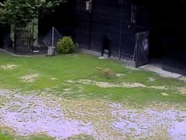 """Video: Lẻn vào vườn nhà trộm gà, cáo già gian ác bị """"nhân vật quyền lực"""" đuổi chạy """"bán sống bán chết"""""""