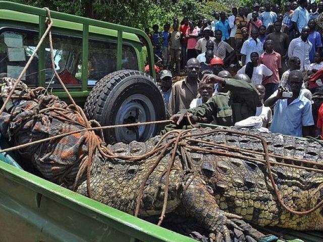 Uganda: Cá sấu khổng lồ dài 5m từng ăn thịt 80 dân làng, bị 50 người vây bắt và cái kết