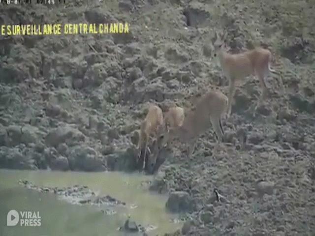 """Video: Trăn """"khủng"""" tung cú đớp đáng sợ giết chết linh dương nhanh như chớp"""