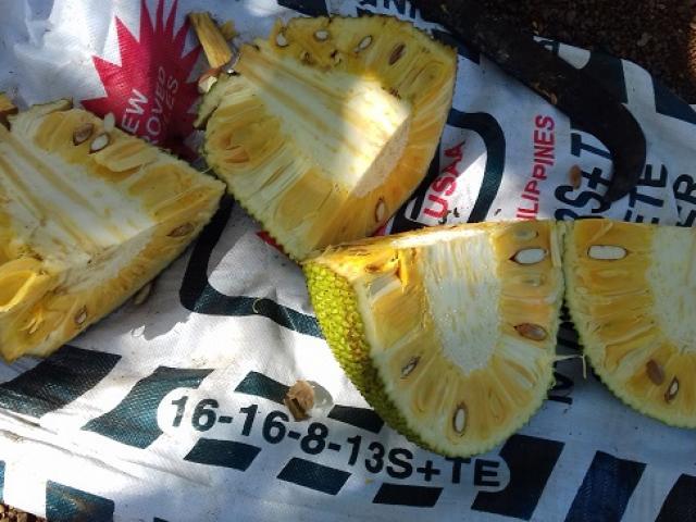 Mít Thái rớt giá thảm vẫn không có người mua, nông dân mang mít cho gà ăn