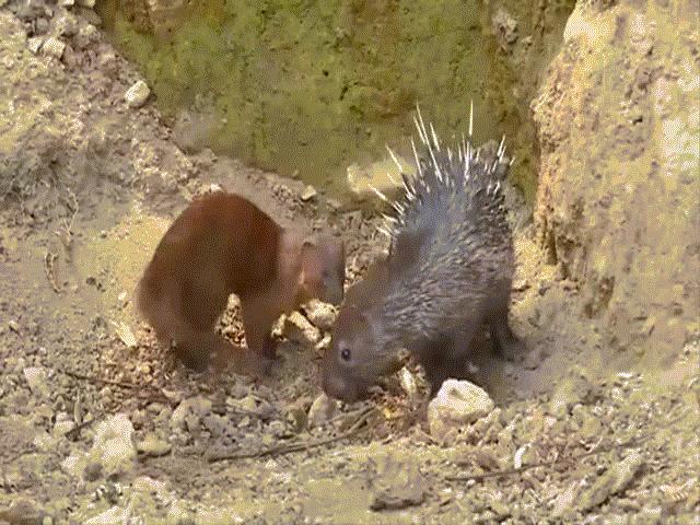 """Video: Hạ sát được cả rắn hổ mang cực độc, cầy Mangut lại chịu thua trước con vật """"gai góc"""" này"""