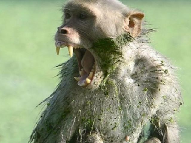 Khỉ hoang tấn công cháu bé tại Quảng Trị