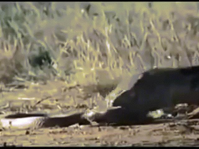 """Video: Kỳ đà tung """"vũ khí bí mật"""" hạ sát rắn hổ mang rồi ăn thịt trước mặt cầy Mangut"""