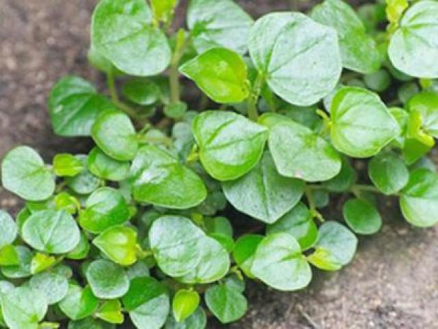 """Loại rau một thời được trồng để """"cứu đói"""" giờ bay chuyên cơ ra Hà Nội thành đặc sản dành cho nhà có điều kiện"""