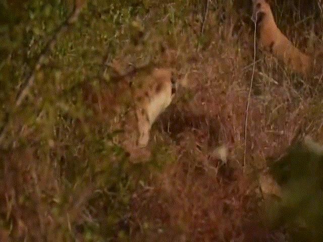 """Video: Linh cẩu """"đơn phương độc chiến"""" trước đàn chó hoang hung dữ và cái kết thót tim"""
