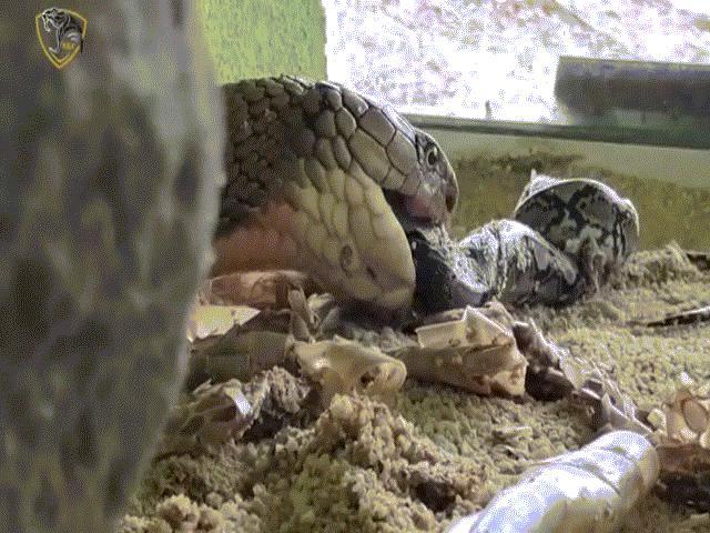 Video: Hổ mang chúa kịch độc tung cú đớp chết chóc, tiêu diệt trăn vua trong nháy mắt