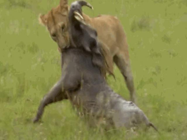 """Đòn kết liễu lợn rừng hoàn hảo của """"vua đồng cỏ"""""""