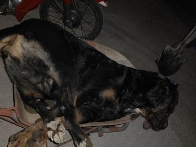 Kinh hãi cảnh chó Pitbull nặng gần 60kg bị rắn hổ mang cắn chết tại chỗ