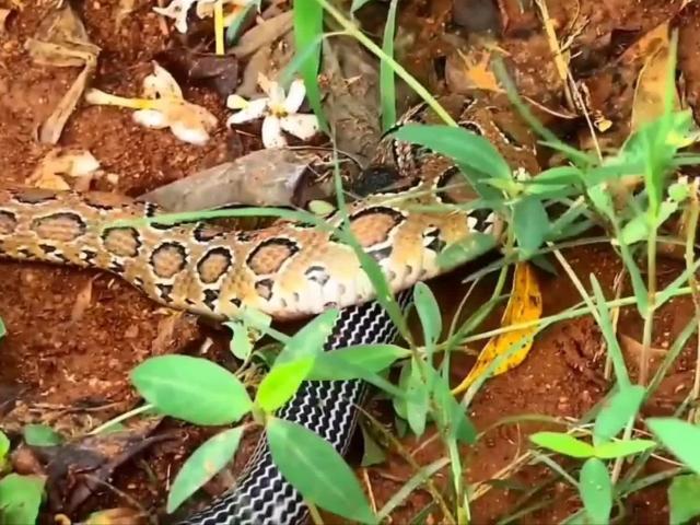 """Cuộc tử chiến của """"tứ đại nọc độc"""" giữa rắn hổ bướm và rắn cạp nia"""