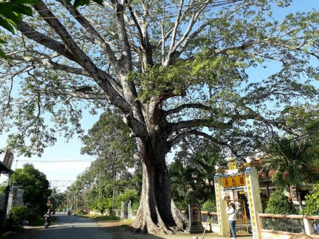 Cây trôm mõ ở đâu được công nhận là cây Di sản Việt Nam năm 2016?