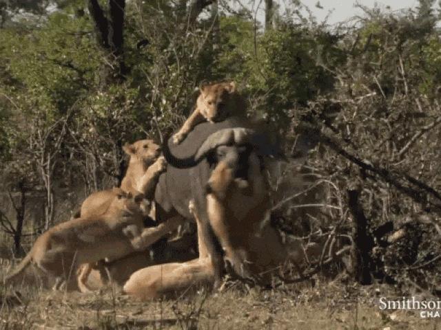 """Sư tử """"gọi hội"""" đông nghịt quyết truy sát trâu rừng khổng lồ"""