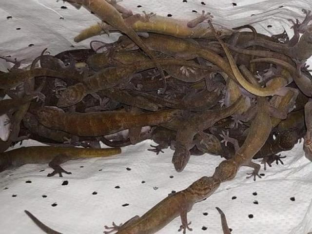Loài bò sát này bất ngờ thành đặc sản, được rao bán hàng triệu đồng/kg