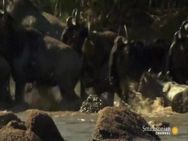 Video: Kết thành đoàn, linh dương đầu bò vẫn bị cá sấu ra đòn chớp nhoáng, hạ gục trong nháy mắt