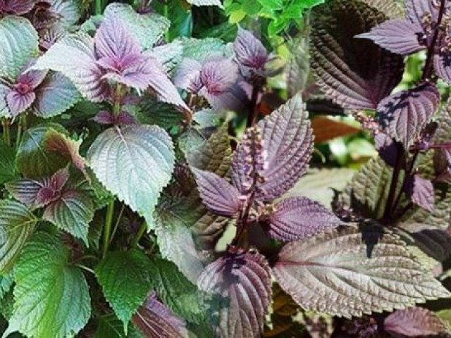 Lá tía tô - Một loại rau gia vị hằng ngày có tiềm năng trong phòng chống SARS-CoV-2