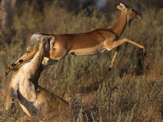 """Linh dương """"đảo chân"""" cực gắt khiến sư tử vồ vào cõi hư không"""