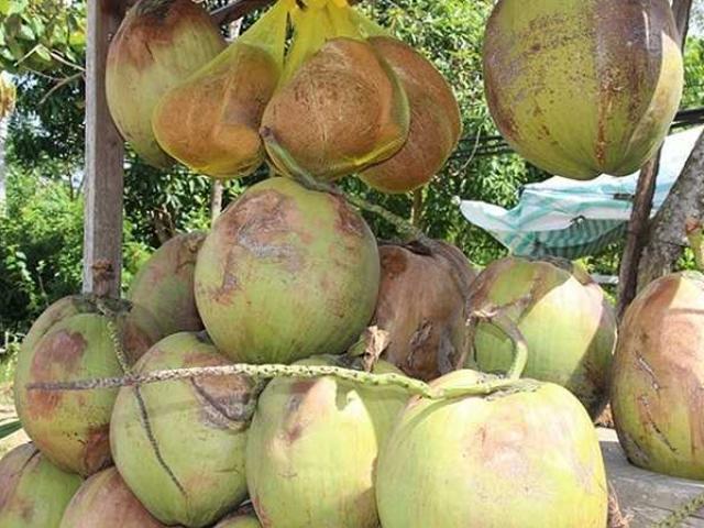 Quả dừa có giá 300.000 đồng và đây là lý do