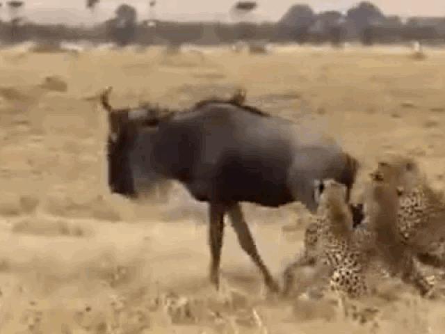 Bị báo săn cắn xé điên cuồng, linh dương đầu bò phản đòn cực gắt và cái kết khó tin