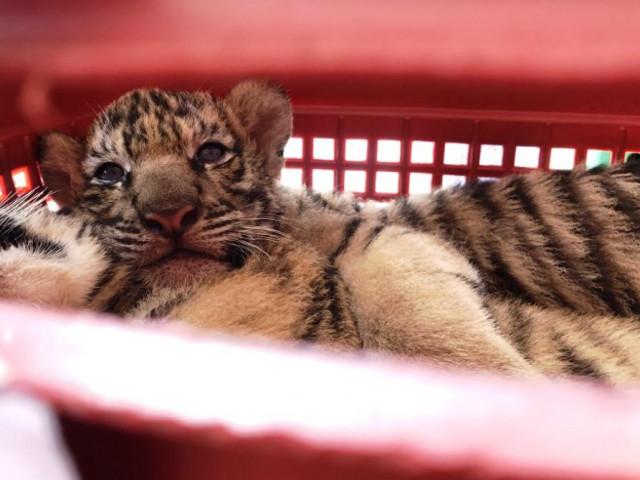 Bắt 2 kẻ đi xe hơi chở 7 hổ con còn sống, lùi xe vào cảnh sát để chạy trốn