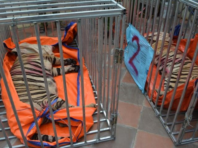 Vụ 17 con hổ nặng hơn 200kg nuôi trái phép ở nhà dân: Chủ cơ sở khai gì?