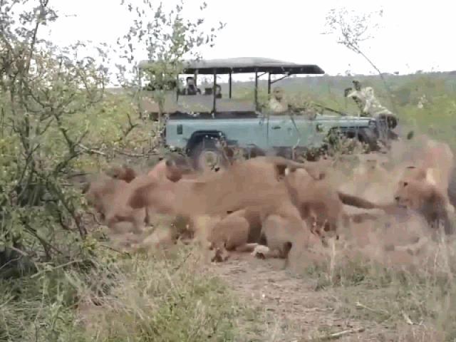 Trâu rừng tưởng đã mất mạng bỗng nhiên trỗi dậy khiến đàn sư tử chạy tan tác