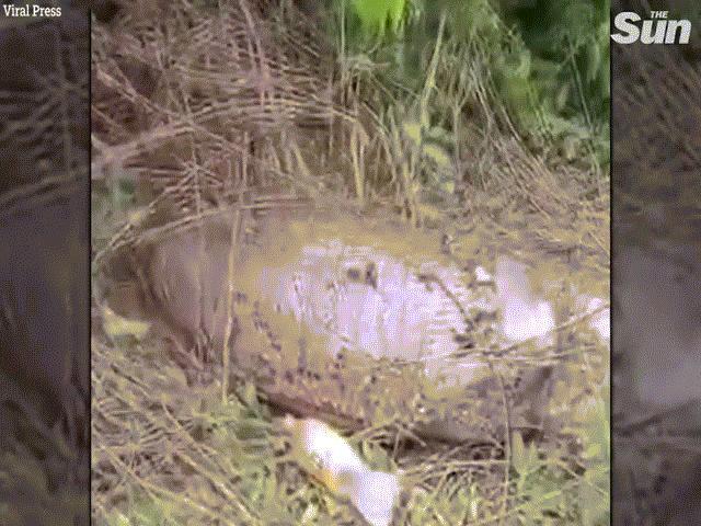 Thái Lan: Trăn 4,5 mét nuốt trọn cả con bò và điều không ngờ