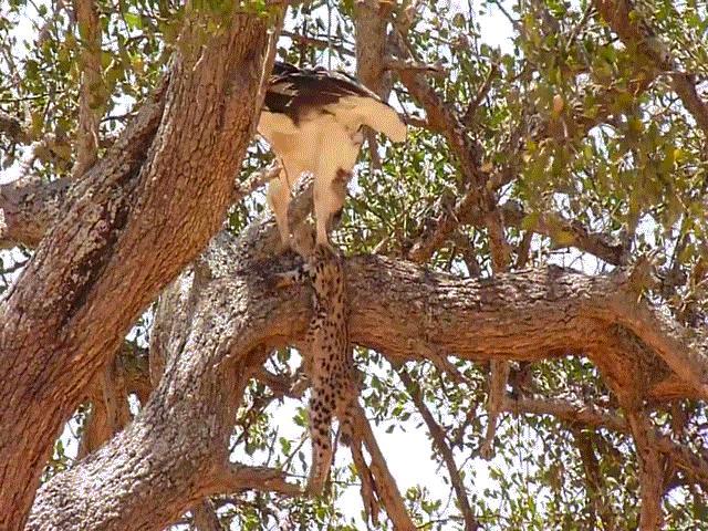 Video: Đại bàng lớn nhất châu Phi cắp báo con lên cây, từ từ xé xác