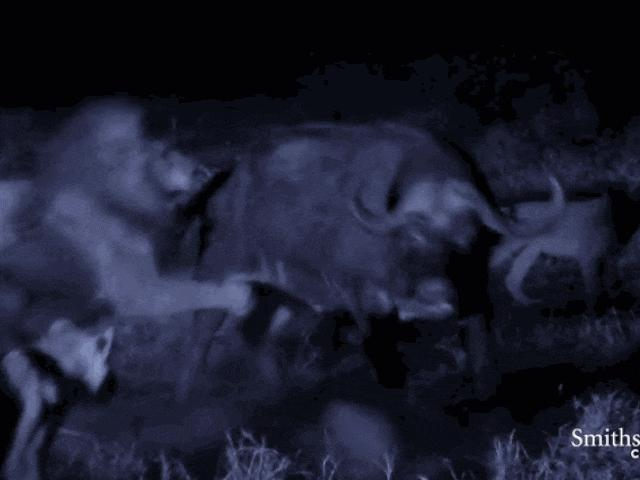 Cảnh săn mồi trong đêm tối của sư tử giữa bầy trâu rừng khổng lồ