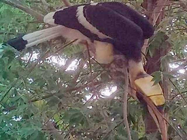 CLIP: Xuất hiện cặp chim phượng hoàng đất quý hiếm ở biên giới Tây Nam